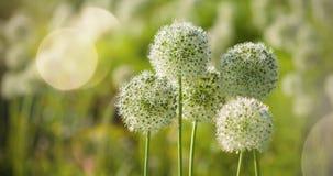 Bello i fiori a forma di dell'allium globo circolare bianco soffiano nel vento Immagini Stock Libere da Diritti