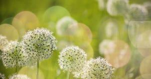 Bello i fiori a forma di dell'allium globo circolare bianco soffiano nel vento Fotografie Stock Libere da Diritti