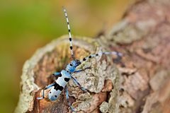 Bello incesto blu con gli spessimetri lunghi Insetto blu Rosalia Longicorn, alpina di Rosalia, nell'habitat della foresta di verd Fotografie Stock