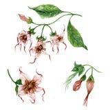 Bello insieme floreale esotico Strophanthus o fiori di riccioli del ragno sul ramoscello con le foglie Isolato su priorità bassa  illustrazione vettoriale