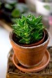 Bello juvenna dell'aloe in un vaso di fiore dell'argilla Immagine Stock Libera da Diritti