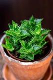 Bello juvenna dell'aloe in un vaso di fiore dell'argilla Immagini Stock