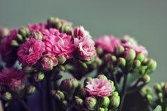 Bello kalanchoe di fioritura rosa su un fondo verde Piccoli fiori e germogli rosa luminosi Alloggi la pianta Macro del primo pian fotografie stock