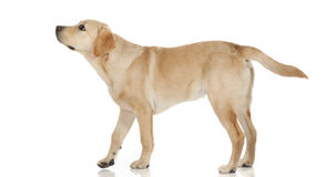 Bello labrador retriever su fondo bianco Immagine Stock Libera da Diritti