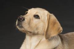 Bello labrador retriever su fondo nero Fotografia Stock Libera da Diritti