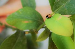 Bello Ladybird su una foglia immagini stock libere da diritti