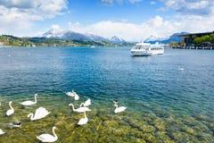 Bello lago in alpi svizzere con il cigno in Lucerna, Svizzera Fotografia Stock