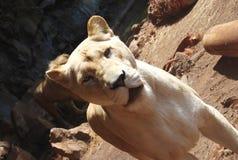 Bello leone della ragazza Immagine Stock Libera da Diritti