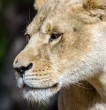 Bello leone nella sosta di safari Fotografia Stock Libera da Diritti