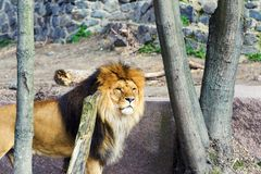Bello leone vigoroso fotografia stock