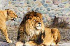 Bello leone vigoroso immagine stock libera da diritti