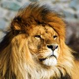 Bello leone vigoroso fotografie stock libere da diritti