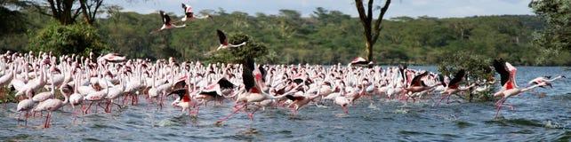 Bello Lesser Flamingos in lago Naivasha immagine stock