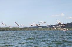 Bello Lesser Flamingos nel lago Naivasha immagine stock libera da diritti