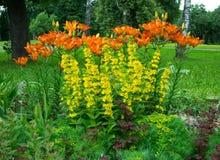 Bello letto di fiore dei gigli Immagini Stock Libere da Diritti