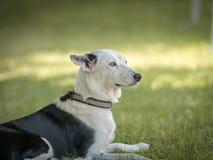 Bello levriero spagnolo che si siede nell'erba naturale di un parco fotografie stock