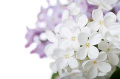 Bello lillà isolato su priorità bassa bianca Fotografia Stock