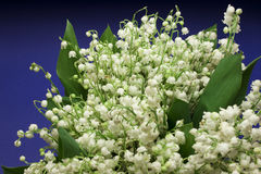 Bello Lily-of-the-valley fresco Fotografia Stock