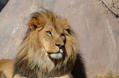 Bello Lion Enjoying dorato la luce solare calda Fotografie Stock