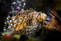 Bello Lion Fish Pterois Swimming Alone in un grande acquario Fotografia Stock