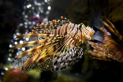Bello Lion Fish Pterois Swimming Alone in un grande acquario Fotografie Stock