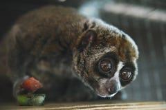 bello Loris lento i loris lenti è ora fra il suo dei primati più pericoloso del principale 25 del mondo preso dal selvaggio per v immagini stock libere da diritti