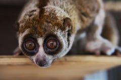 bello Loris lento i loris lenti è ora fra il suo dei primati più pericoloso del principale 25 del mondo preso dal selvaggio per v fotografia stock libera da diritti