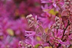 Bello Loropetalum Chinense fotografie stock libere da diritti