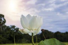 Bello loto bianco immagine stock