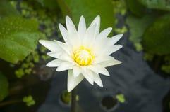 Bello loto bianco Fotografia Stock