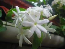 Bello loto bianco Fotografie Stock Libere da Diritti