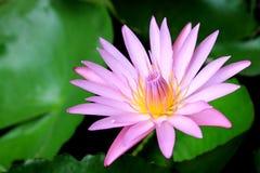 Bello loto dentellare di fioritura Immagine Stock