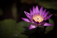 Bello loto di fioritura porpora nello stagno immagine stock
