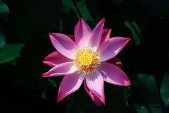 Bello loto rosa fra le sue foglie Fotografia Stock
