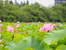 Bello loto rosa nel parco di Ueno, Tokyo, Giappone Immagini Stock Libere da Diritti