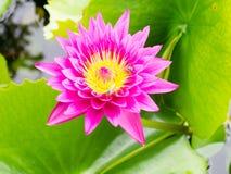 Bello loto viola Fotografia Stock