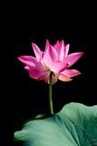 Bello Lotus rosa nel fondo nero Fotografie Stock Libere da Diritti