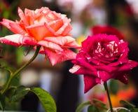 Bello luminoso del fiore fresco Fotografia Stock