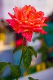 Bello luminoso del fiore fresco Fotografia Stock Libera da Diritti