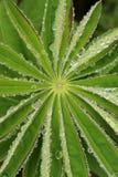 Bello lupino Immagini Stock