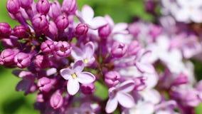 Bello macro video di una fioritura lilla porpora del fiore stock footage