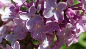 Bello macro video di una fioritura lilla porpora del fiore archivi video