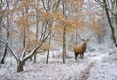 Bello maschio dei cervi nobili nell'inverno festivo innevato FO di stagione immagine stock