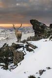 Bello maschio dei cervi nobili nella catena montuosa innevata s festiva fotografia stock