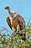 Bello maschio del gallo cedrone sui precedenti variopinti Immagini Stock Libere da Diritti
