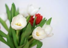 Bello mazzo bianco e rosso dei tulipani Fotografia Stock Libera da Diritti