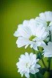 Bello mazzo dei crisantemi bianchi Fotografia Stock