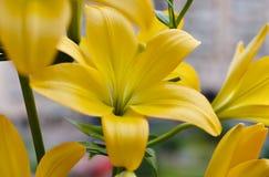 Bello mazzo dei gigli gialli freschi Fiorisce il primo piano Fotografia Stock
