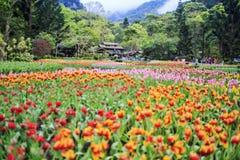 Bello mazzo dei tulipani Immagine Stock