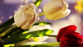 Bello mazzo dei tulipani rossi e bianchi, mazzo della mimosa sui precedenti della finestra nel caffè nella sera video d archivio